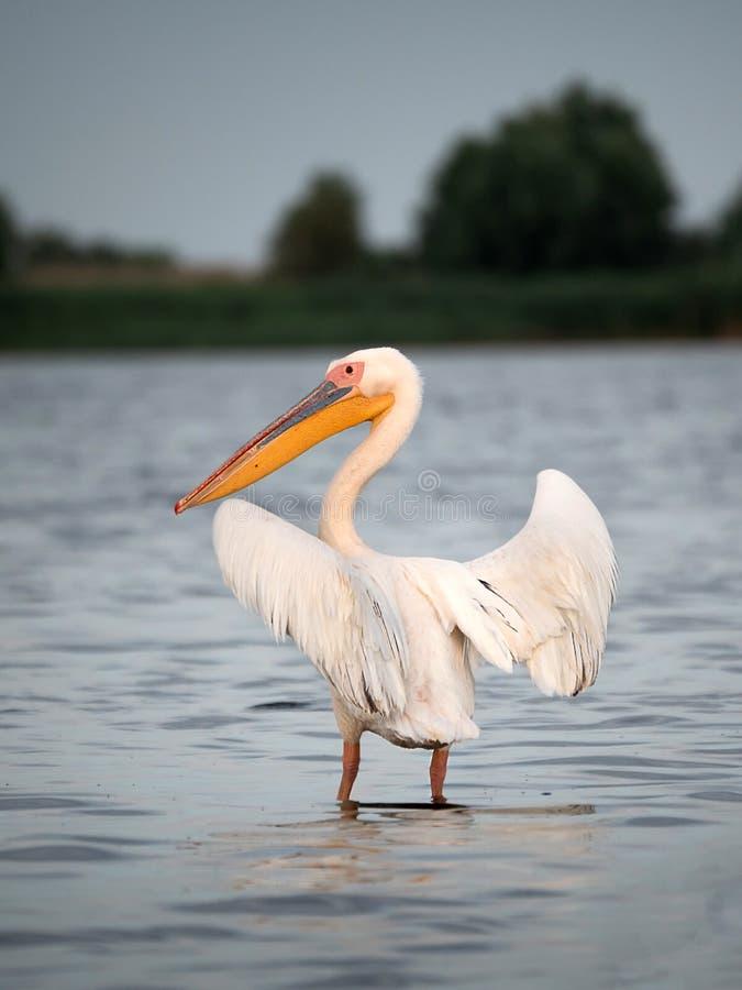 Alleinaufpassen des Pelikans in Donau-Delta lizenzfreie stockbilder