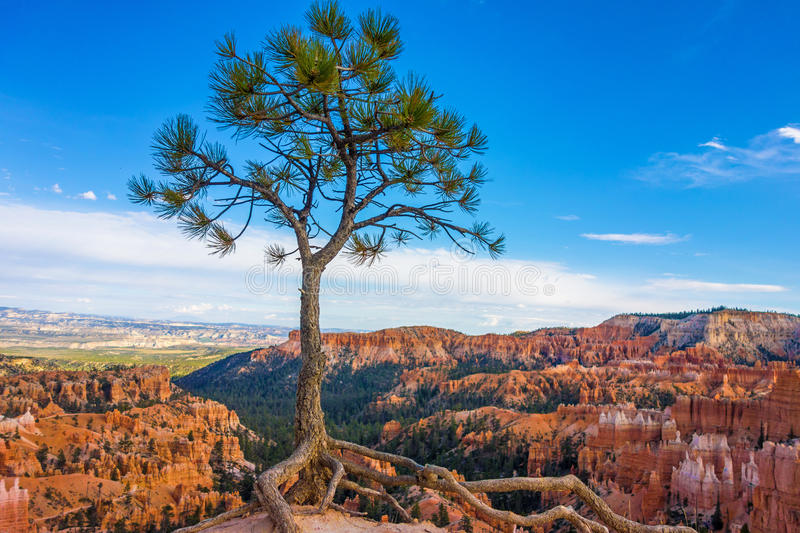 Alleiner Baum in Bryce Canyon National Park, Utah lizenzfreies stockbild