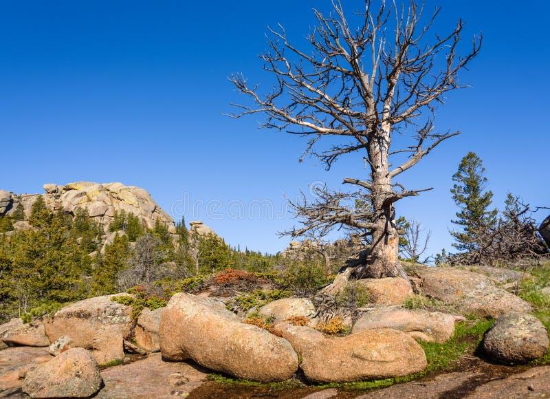 Alleiner, riesiger toter Baum auf Felsen, große Höhe im Gebirgsholz, mit einem blauen Himmel und grünen einem Waldhintergrund Vor lizenzfreie stockbilder