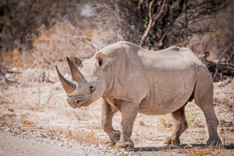 Alleines schwarzes Nashorn, Nationalpark Etosha, Namibia stockfotografie