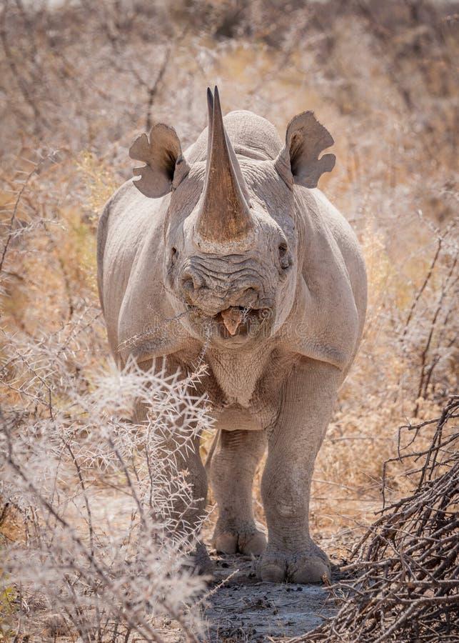 Alleines schwarzes Nashorn, Nationalpark Etosha, Namibia lizenzfreie stockfotos