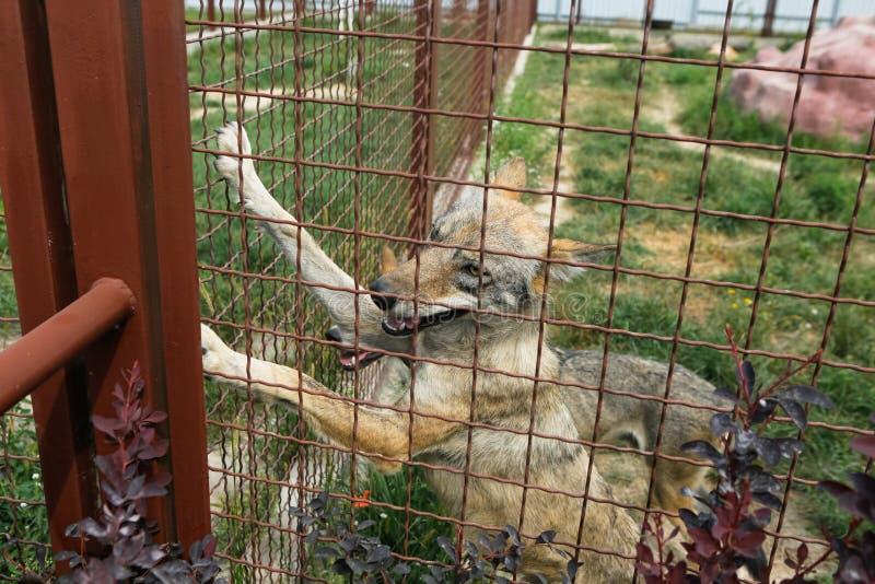 Alleinwolf in der Gefangenschaft, Zaun lizenzfreies stockfoto
