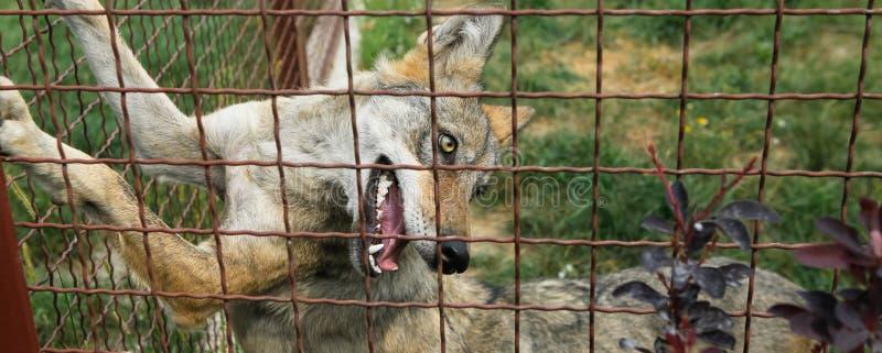 Alleinwolf in der Gefangenschaft, Zaun stockfotos