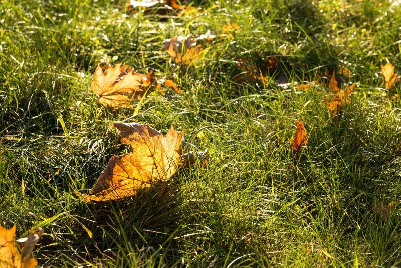 Allen jesieni liście na trawie w pogodnym ranku świetle, stonowana fotografia zdjęcie royalty free