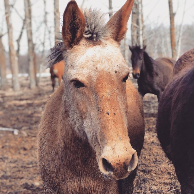 Allen the Mule royalty free stock photo