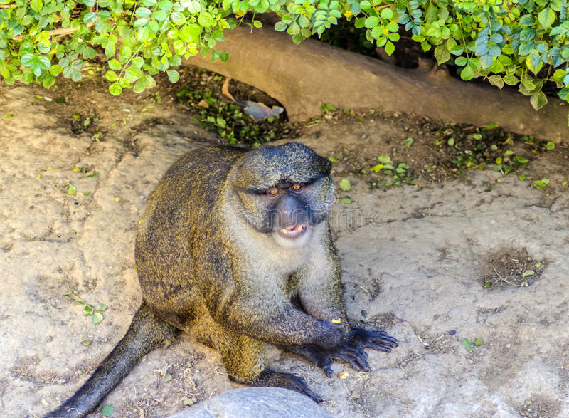 Allen's swamp monkey royalty free stock image