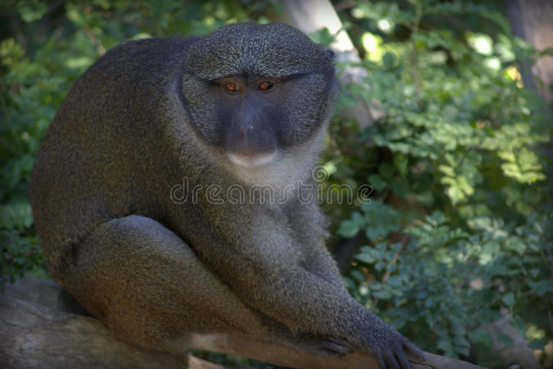 Allen's Swamp Monkey Up Close in a Forest. An Allen's Swamp Monkey resting on a branch stock images