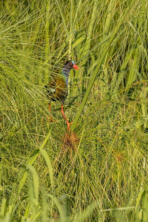 Allens Gallinule Botswana fotografering för bildbyråer