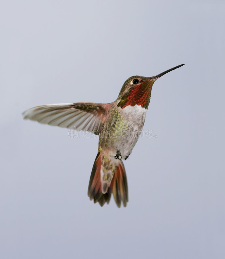 AllensAnnas Hybrid Hummingbird stock photos