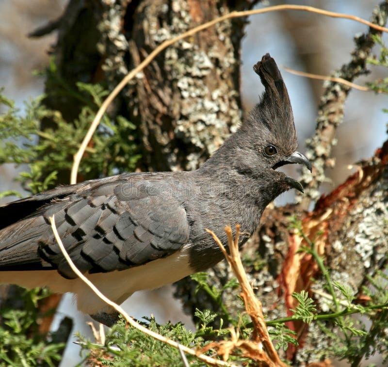 aller-loin-oiseau Blanc-gonflé photographie stock libre de droits