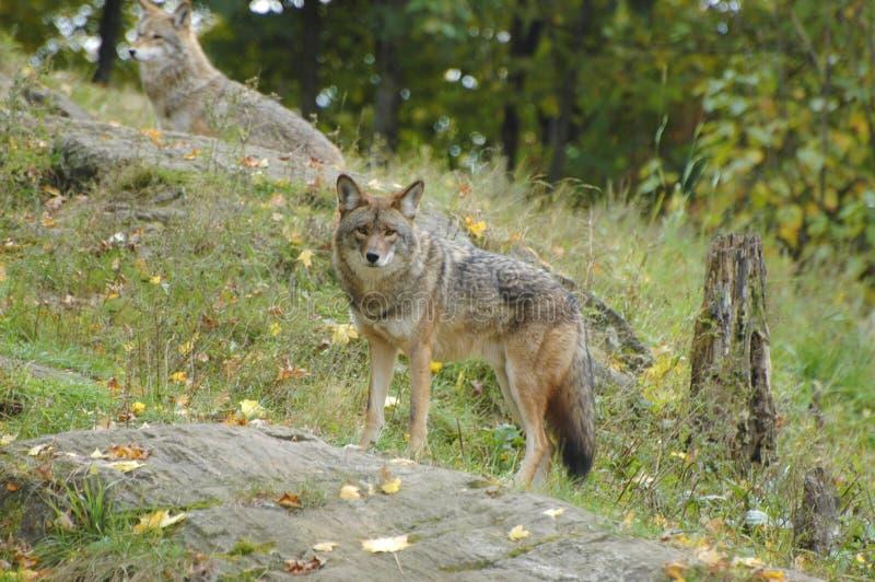 Allerta del coyote immagine stock libera da diritti