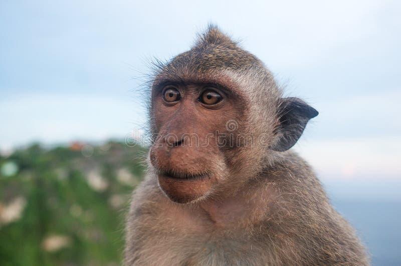 Alles fressender Herbivore Säugetier des Affen stockbild