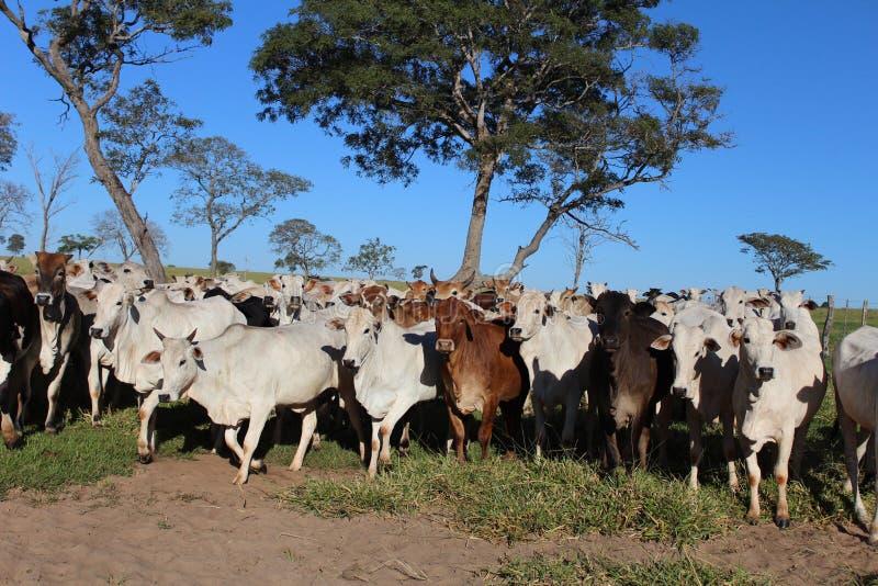 Allevamento di bestiame fotografia stock