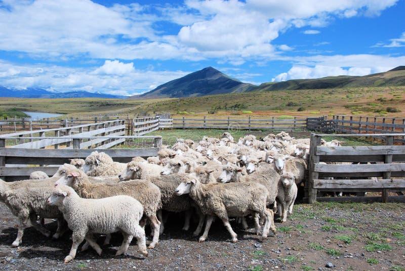 Allevamento di pecore in peperoncino rosso patagonian di estancia con paesaggio, pecore delle nuvole che camminano dal recinto fotografia stock