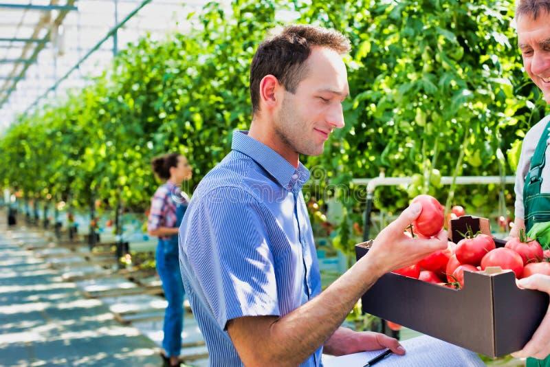 Allevatore che mostra i pomodori appena raccolti in gabbia affinché il supervisore esamini mentre scrive una relazione in serra fotografie stock