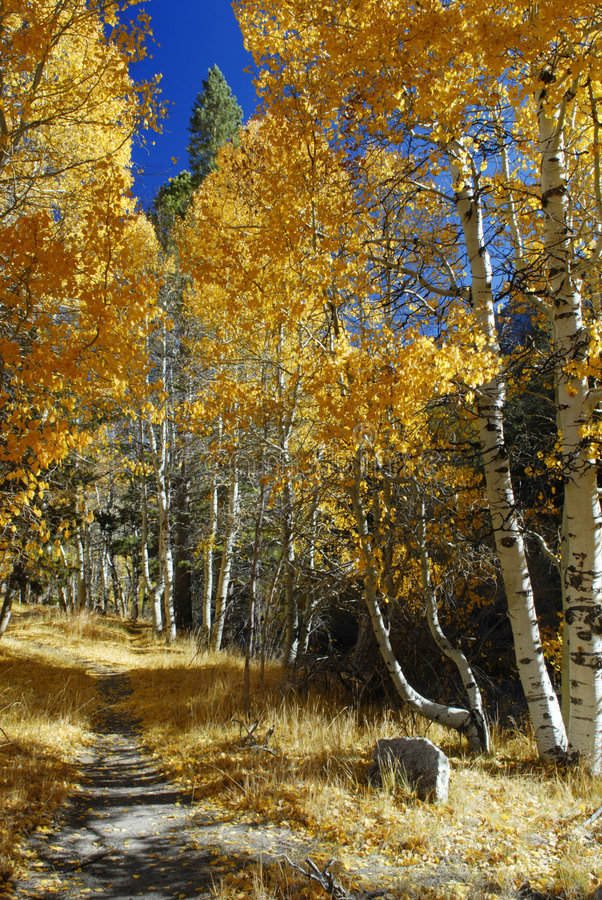Alley Of Aspens Near June Lake Royalty Free Stock Images