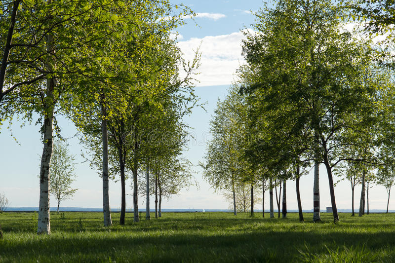 Alley of Birches. Alley of white birches under bright sunlight royalty free stock image