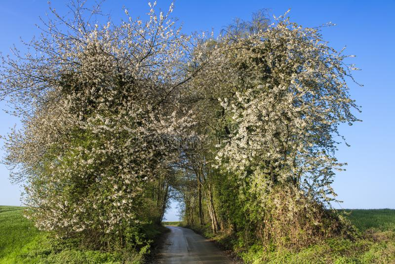Country lane with blooming wild cherry trees on clear day with blue sky in spring. Alley with blooming bushes on clear spring morning with blue sky stock images