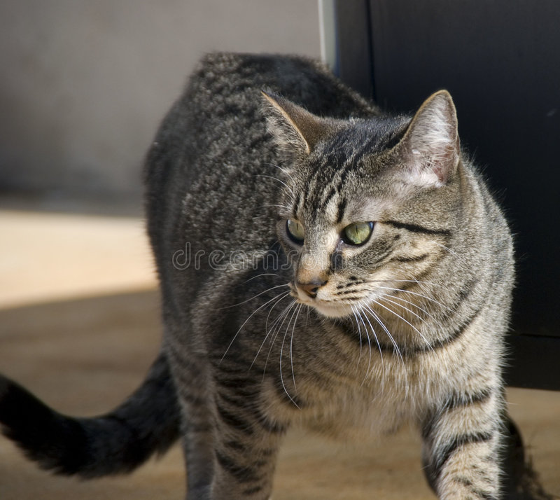 Alley Cat. A beautiful looking alley cat moves cautiously through the streets royalty free stock photo