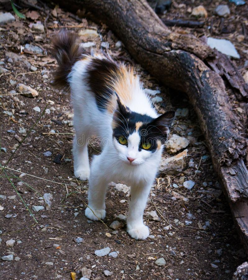 Alley cat. Tri-color in the woods stock photography