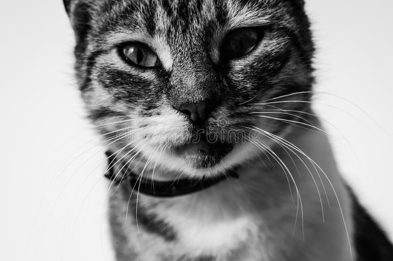 Alley Cat Black And White Portrait. Beautiful close up alley cat portraits in black and white royalty free stock photography