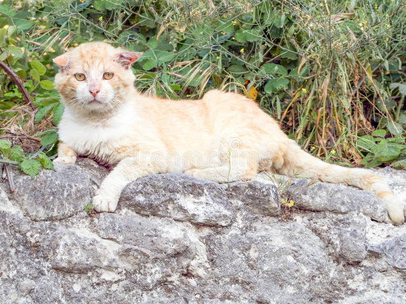 Alley Cat. Male Alley Cat sat on a wall royalty free stock photos