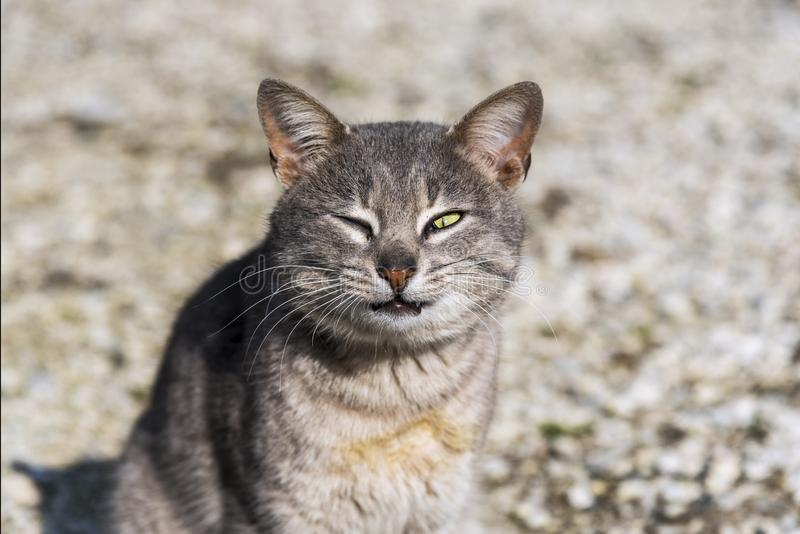 An alley cat`s funny pose looking at a camera in a garden, outdoor. Close up. Cat photography royalty free stock image