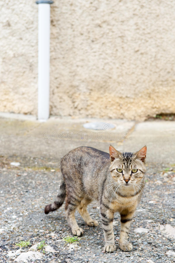 Download Alley cat at the street stock photo. Image of alley, tabby - 34020732