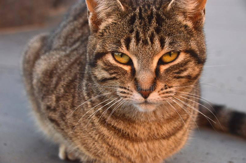 Alley cat with yellow eyes. Tabby Alley cat with yellow eyes. look directly at the camera stock photo