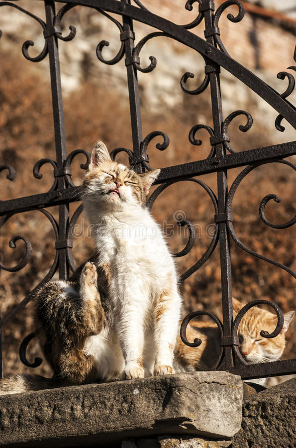Alley cats on iron fence. Alley cats on old iron garden fence in sunny day stock image