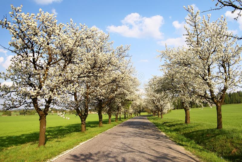 Alley of cherry-trees royalty free stock photography