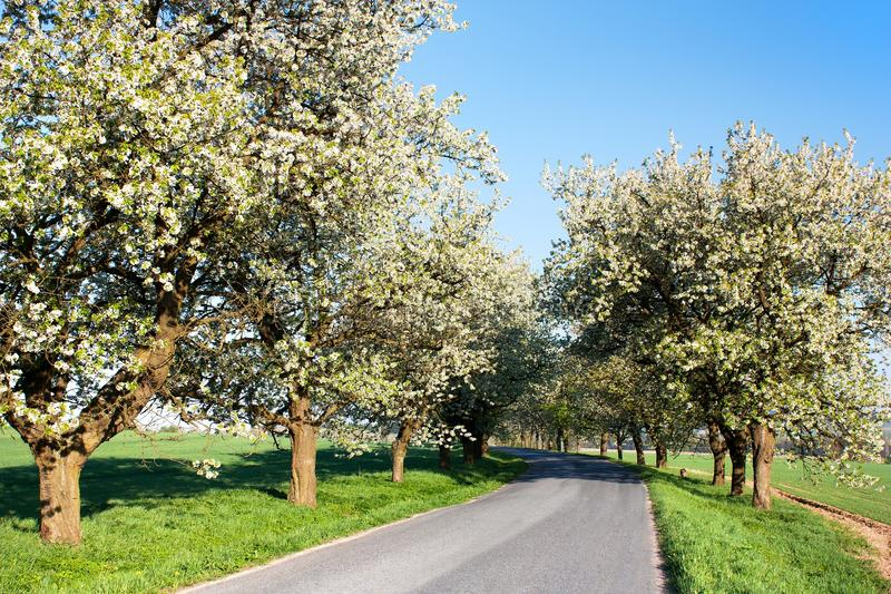 Alley of cherry-trees stock photography