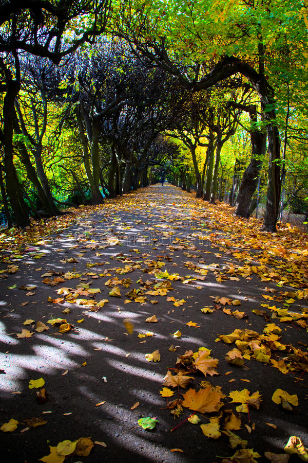 Alley with falling leaves in fall park royalty free stock photography