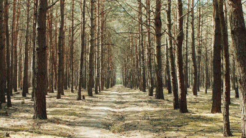 Alley footpath in het dennenbos royalty-vrije stock afbeeldingen