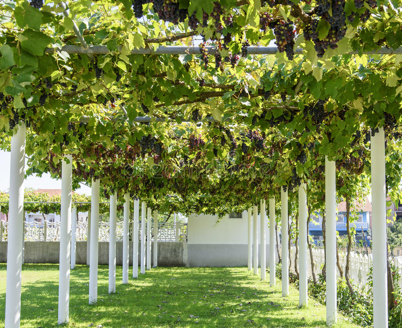 Download Alley With Grape Vine-covered Pergola Stock Image - Image of  color, farm - Alley With Grape Vine-covered Pergola Stock Image - Image Of Color