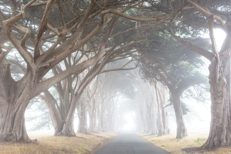 Alley. Misty trees alley in foggy weather stock photography