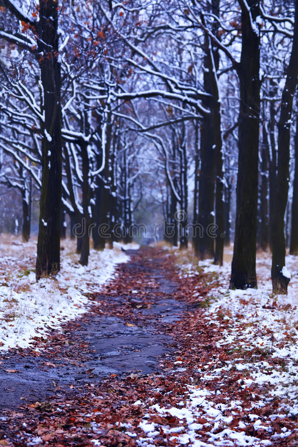 Alley of oak trees in the park in the late autumn and the snow royalty free stock image
