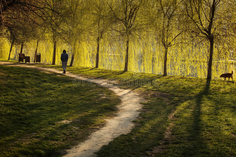 Alley in a park with woman walking with her dog, beautiful curtain of willow in background.  royalty free stock photography