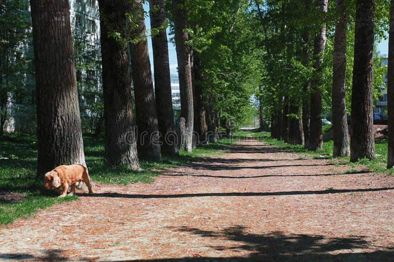 Alley of poplars with blossoming leaves in the middle of spring royalty free stock photos