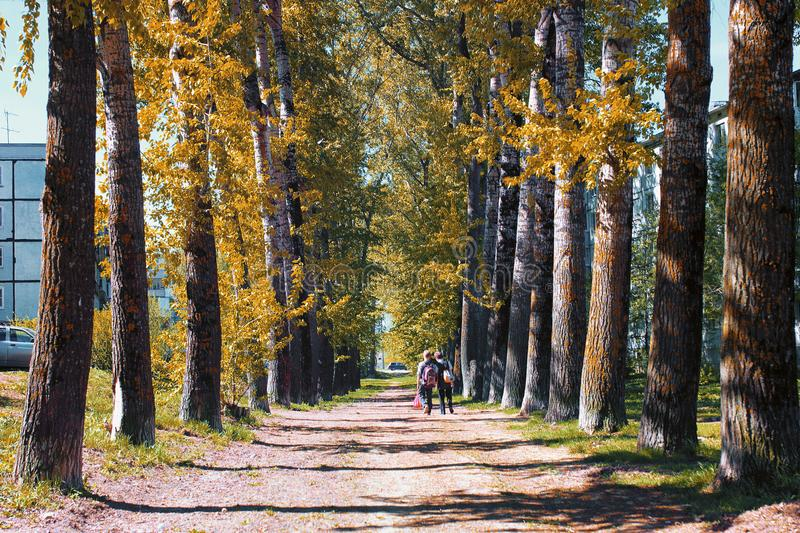 Alley of poplars with yellowing leaves in late summer royalty free stock photo