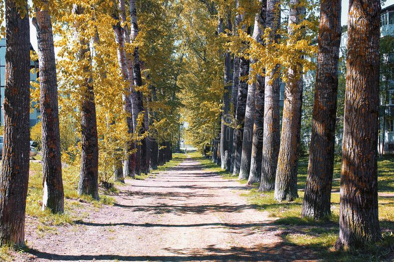 Alley of poplars with yellowing leaves in late summer royalty free stock image