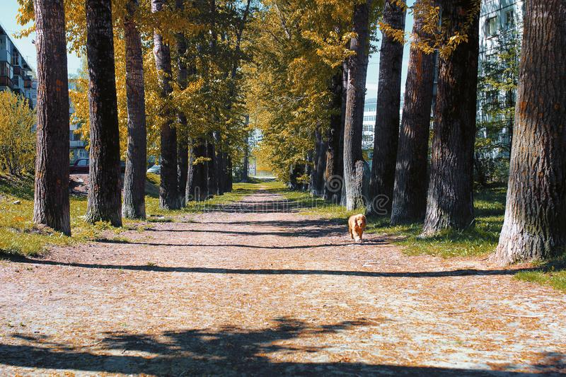Alley of poplars with yellowing leaves in late summer royalty free stock photos