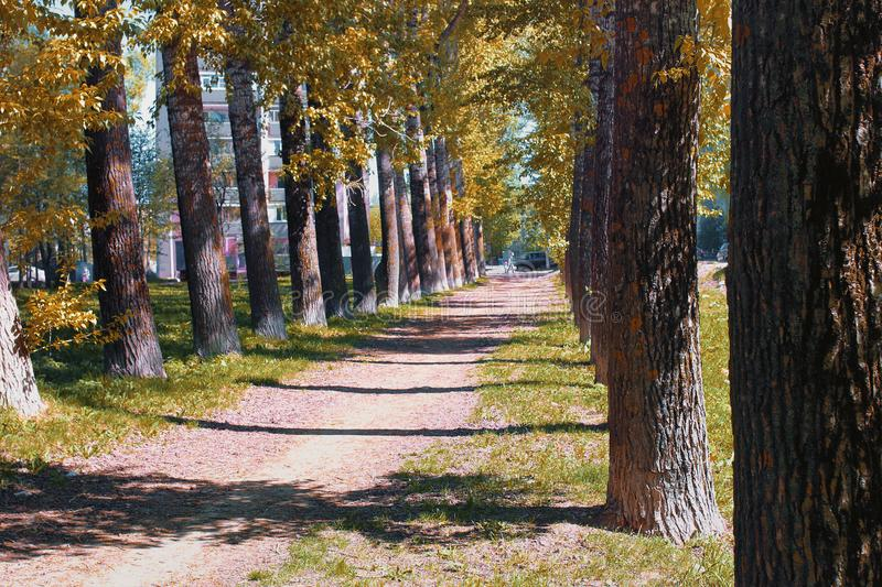 Alley of poplars with yellowing leaves in late summer stock image