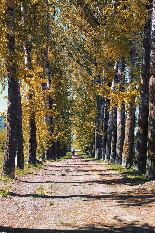 Alley of poplars with yellowing leaves in late summer stock photo