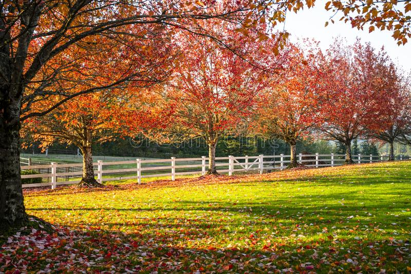 Alley of red maples with falling leaves burning in the sun in cl stock photos