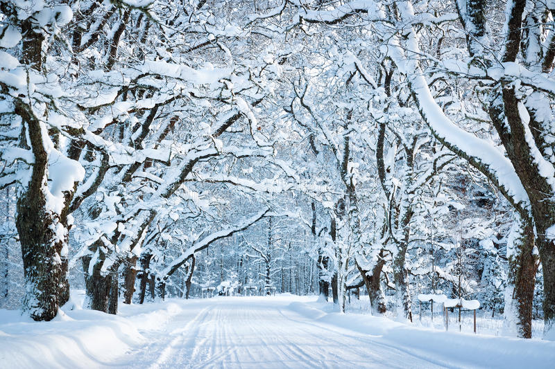 Alley in snowy morning. With beautiful trees on the sides royalty free stock photos