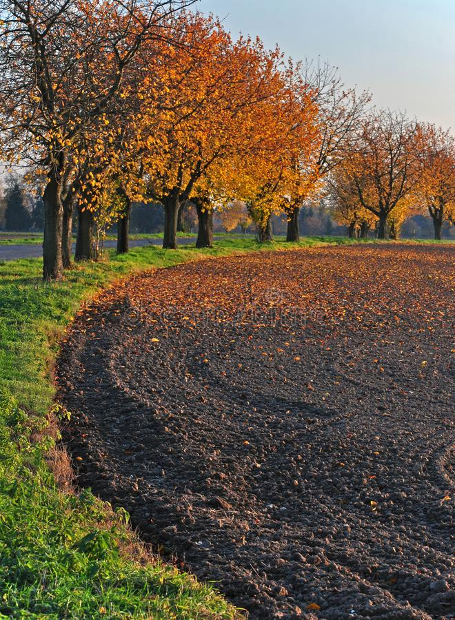 Alley of trees at the edge of the field in the afternoon autumn sun. Alley of trees on the edge of field in autumn sun stock photos