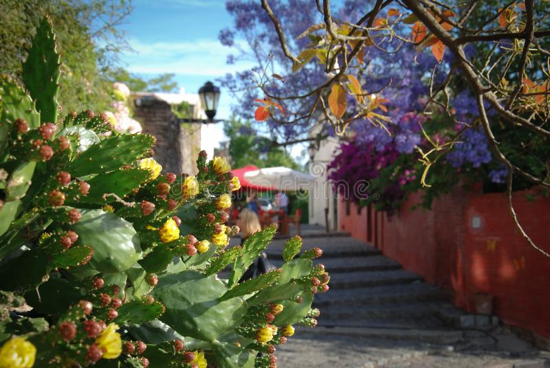 Alleys in the historic center of Colonia de Sacramento, Uruguay. Sunny spring day, Jacaranda tree and flowering plants royalty free stock photo
