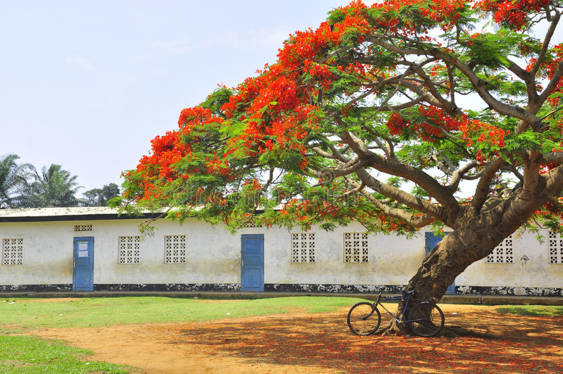 Allez à vélo sous un arbre flamboyant dans la cour d'une école image libre de droits