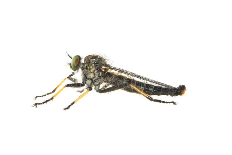 Allgemeine Ahle Robberfly, Bosrandroofvlieg, Neoitamus-cyanurus stockfotografie
